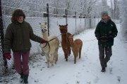Spaziergang mit Alpakas im Schnee