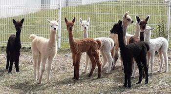 Alpaka - Fohlen aus eigener Zucht von Alpakas von Pia Schindler