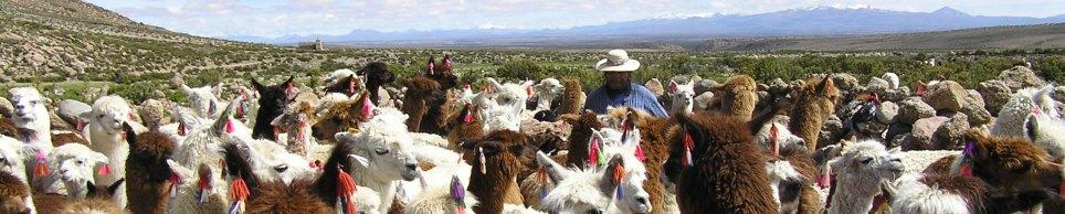 Alpakazucht in Lengefeld - Alpaka Zuchttiere, Alpaka Deckhengste, Alpaka Stuten, Alpaka Fohlen, Alpaka Wolle, Alpaka Verkauf