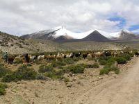 Alpakalebensraum in 4000 m Höhe