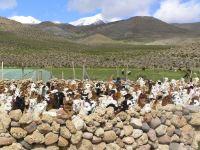 Alpakaherde beim Züchter