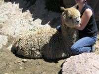 Selektion im Altiplano (Anden)