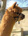 Alpaka Deckhengst für Ihre Alpakas